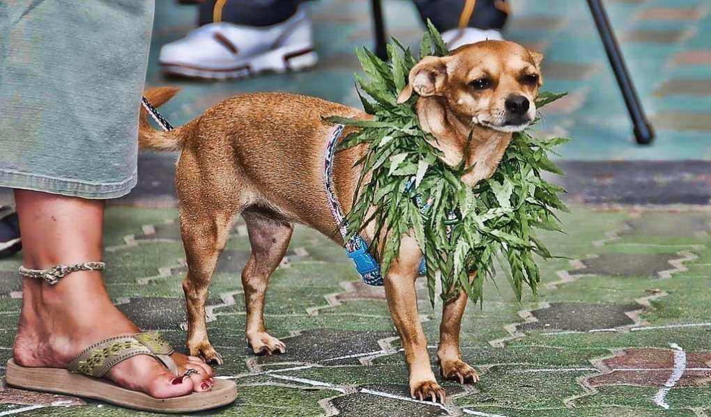 Dogs With Arthritis Benefit From Cannabis Oil, Study Says
