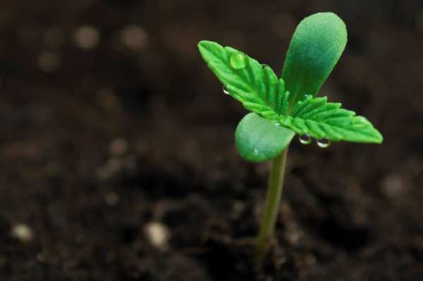 Cannabis Cultivation Compliance and Management