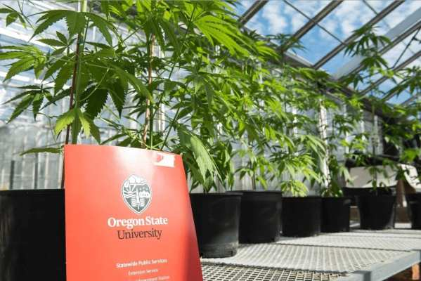 Hemp plants being grown and researched in campus greenhouses by Jay Noller. (OSU)