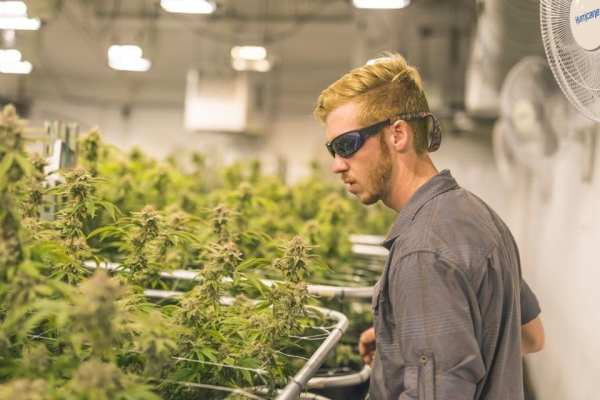 A crop of cannabis plants grow under artificial lights at a facility in Oregon. A young man in red hair and sunglasses is reaching forward to check on them. GETTY