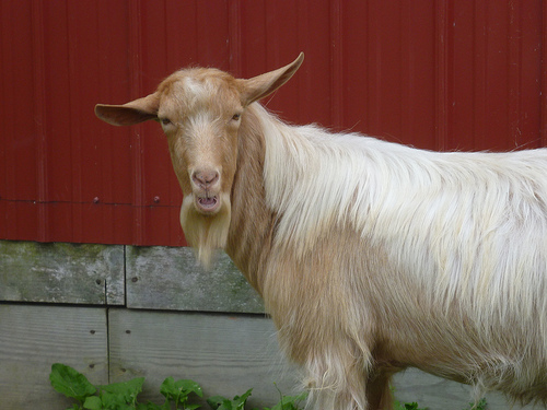 Goat and Spoons