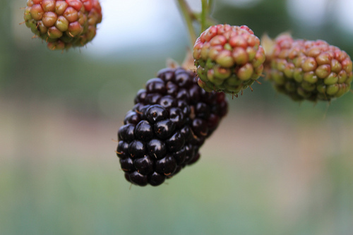 Blackberries Pantoum