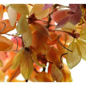 An intimate encounter with the lovely Red Cassia
