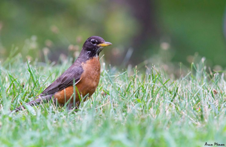 American Robin at Central Park, New York