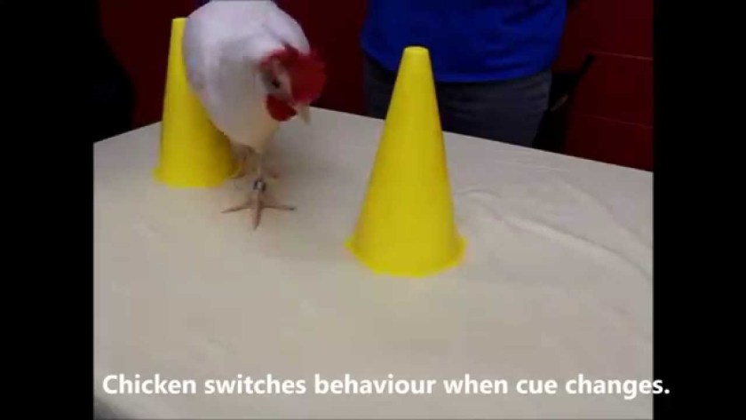 chickens are smart
