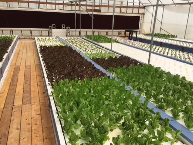 Gorgeous Lettuce Growth at Mikey's Garden in Hunt, TX (Designed and Built by Green Phoenix Farms).