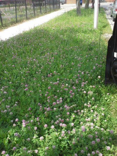 I didn't notice that this patch along the side street was all clover. Very bee-friendly.