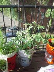 The tomato plant has taken hold