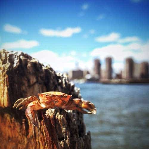 east river crab
