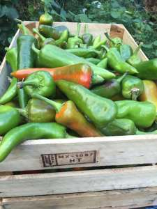 Fresh green chiles from Hatch, NM