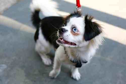 Meet Pepper. She's a two-year-old Japanese Chin mix. Her hobbies include chasing squirrels in the park and accessorizing with jewel tones to make her blue (and brown!) eyes glow.