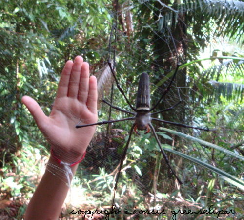 Kuching giant spider Bako