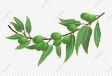 olive paper - فوائد اوراق الزيتون