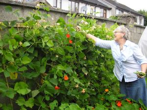 Valerie picking runner beans in 2010 at Goresbridge Community Garden