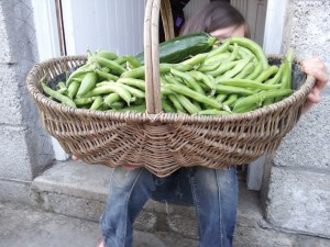 Harvesting Broad (Fava) Beans - how many ways do you think you can eat them?