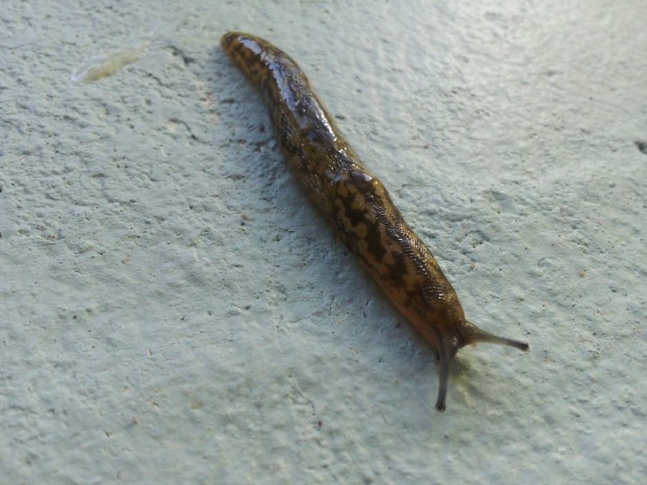 Slugs ~ 15 ways to deal with them organically