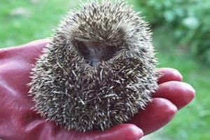 Permission: British Hedgehog Preservation Society