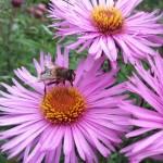 Beneficial Bee