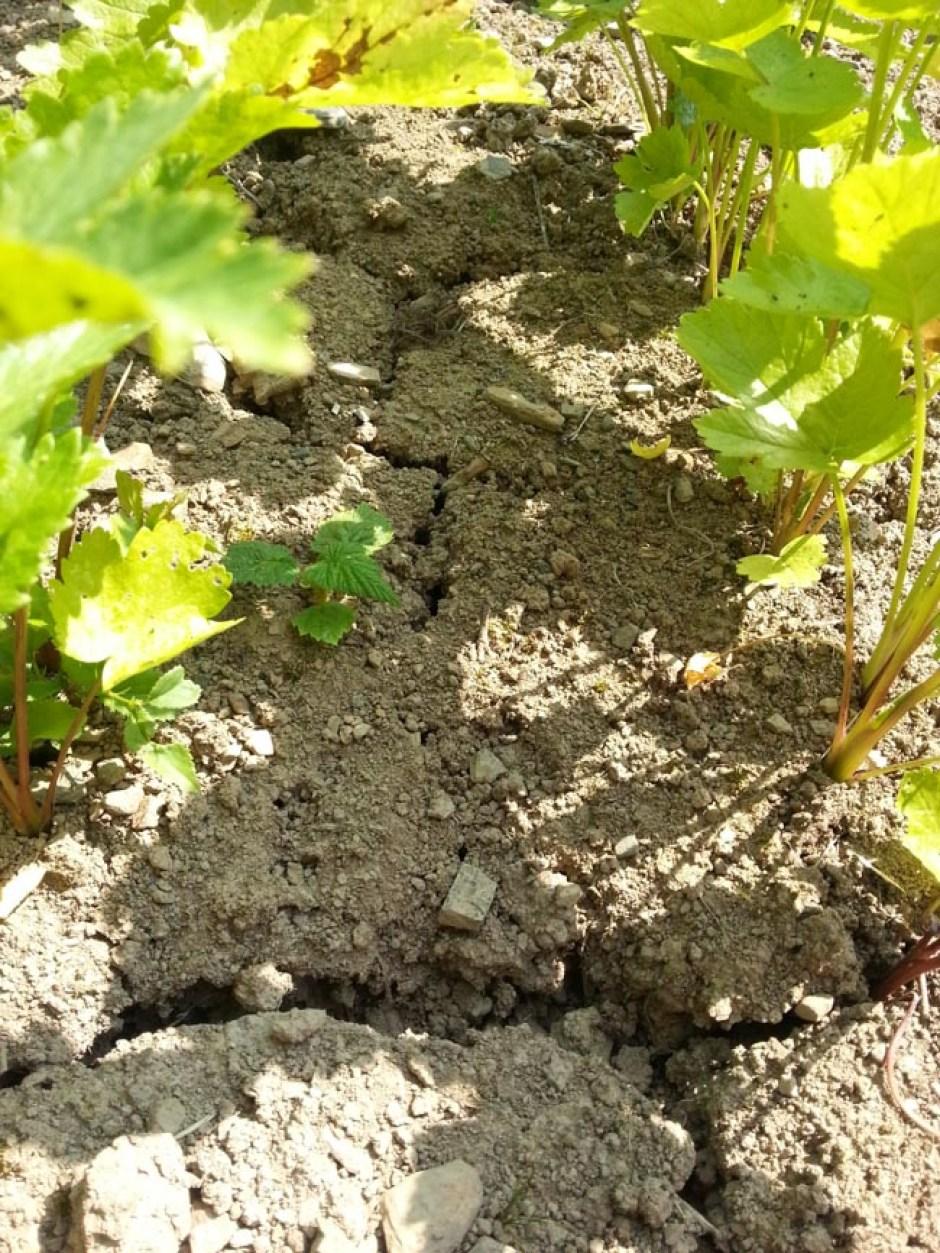 drought in garden