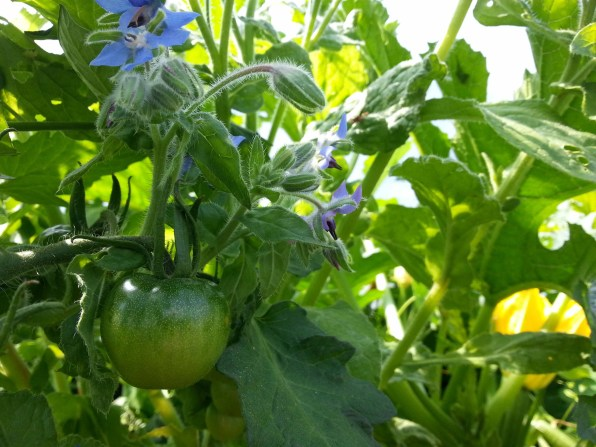 Tomatoes and Borage at Goresbridge Community Garden