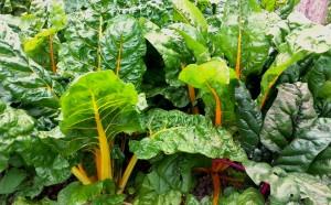 grow your own swiss chard