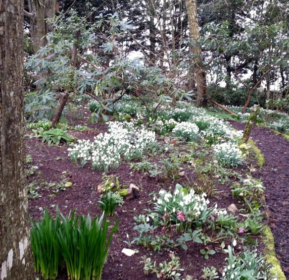 Snowdrops at Altamont Gardens
