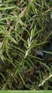 Rosmarinus officinalis. Autor: JBUTAD, Isabel Garcia-Cabral