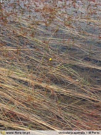 Utricularia australis Autor: MPorto
