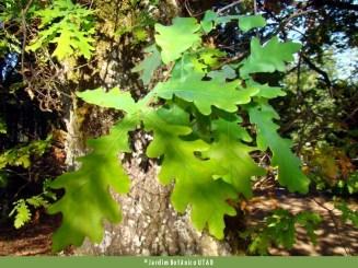 Carvalho-roble (Quercus robur)