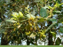 Sobreiro (Quercus suber)
