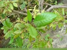 Carvalho-de-monchique (Quercus canariensis)