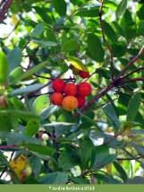 Medronheiro (Arbutus unedo)