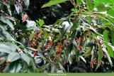 Azereiro (Prunus lusitanica)