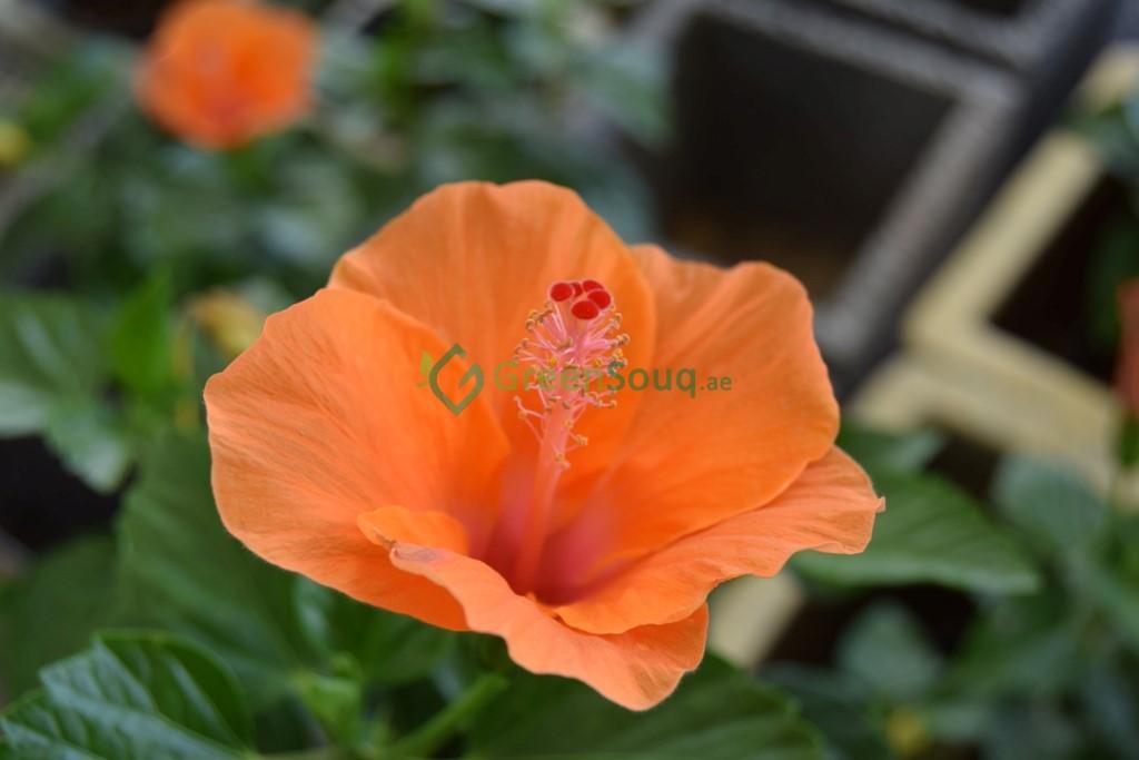 Green Souq UAE: Buy Indoor and Outdoor plants in UAE Online