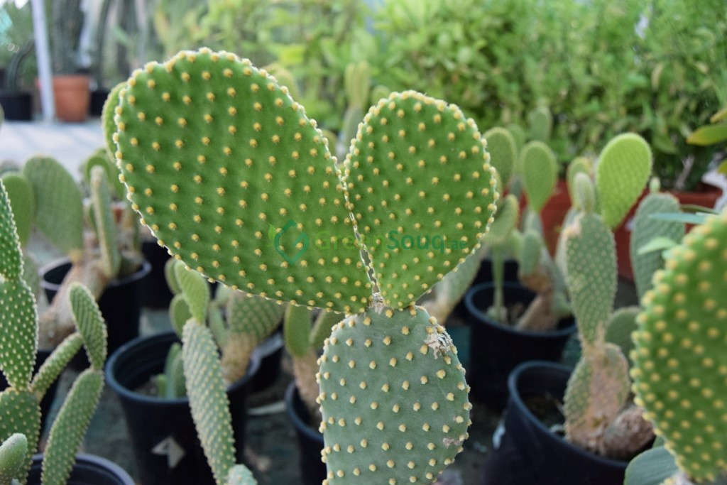 Picture of LIVE Prickly Pears Mission Cactus aka Opuntia Ficus Indica Plant Fit 1 Gallon Pot