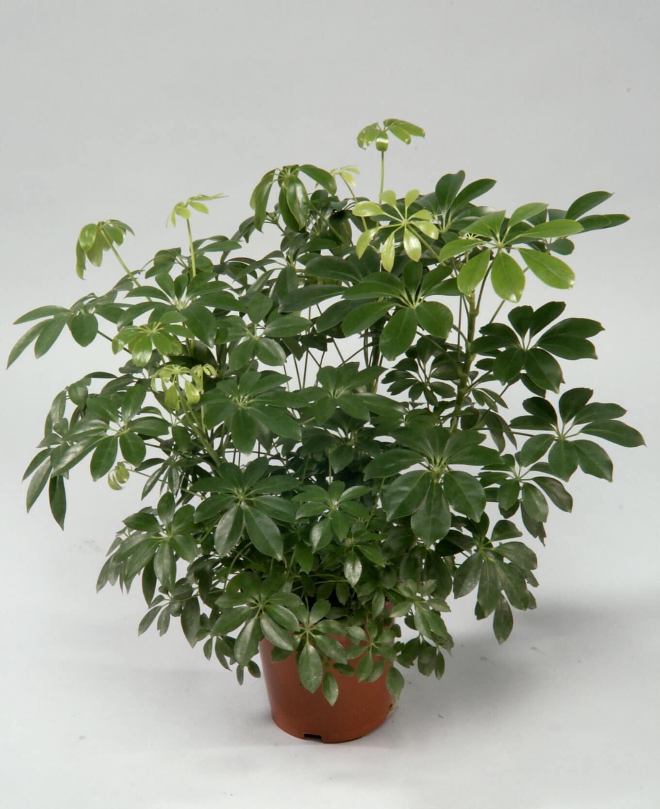 Schefflera Arboricola U0027Compactau0027 Or Dwarf Umbrella Tree