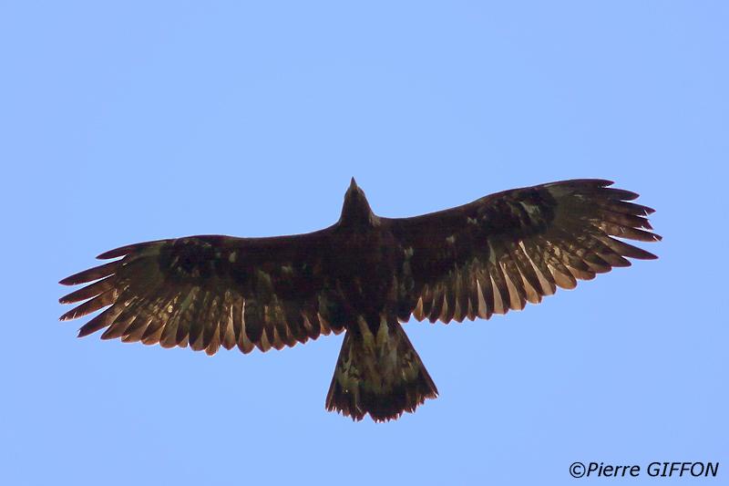 Aigle de Bonelli © Pierre Giffon article Julien Grossi Greenspits.com