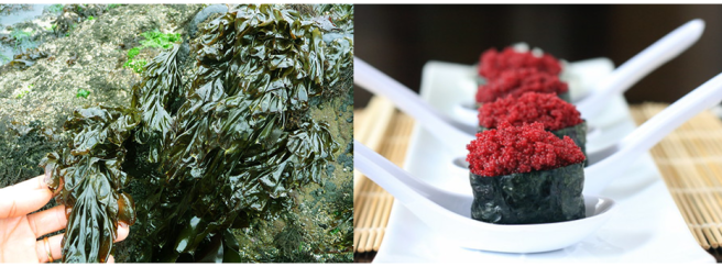 Seaweed sustainability and nutritional benefits. Left Image: Nori (a type of kelp seaweed) growing on rocks on the shore. Right image: vegan sushi rolls made from nori containing bright red faux roe