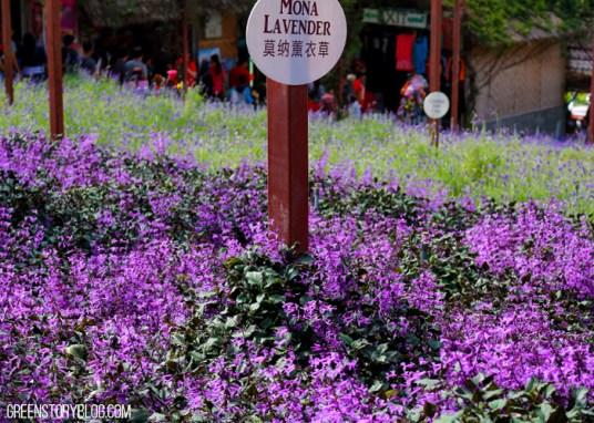 Cameron Highland Lavender Farm