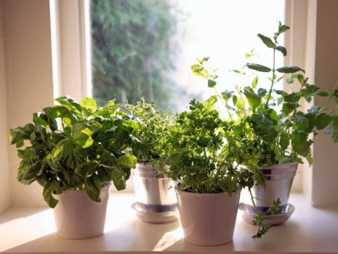 grow indoor organic herbs