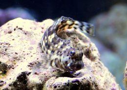 lawnmower benny fish