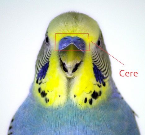 How to Determine Gender of Parakeets