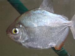 silver_dollar_fish