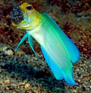 yellowhead_jawfish
