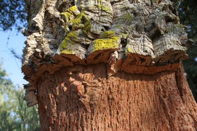 A cortiça é a casca do Sobreiro, que pode ser extraída de forma cíclica, sem prejudicar a árvore. (Fonte: Luiz Felipe Muniz).