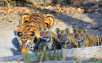How Royal Bengal Tiger thrives in India's Youngest Reserve: Orang Park