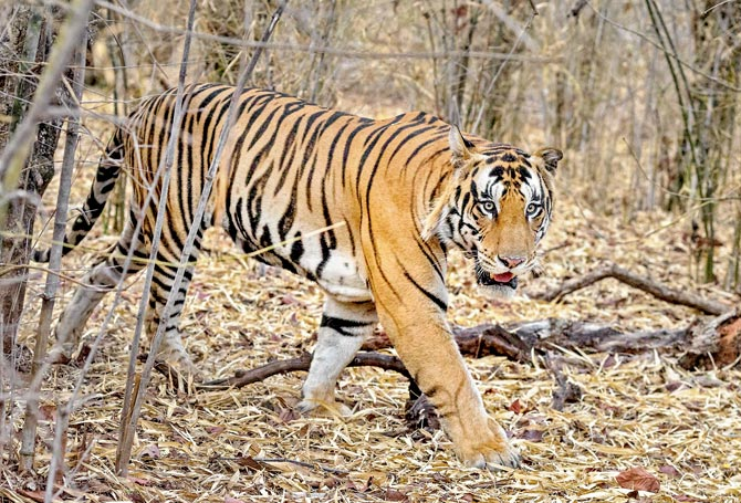 Lalgarh tiger death points to shortcomings in wildlife rescue