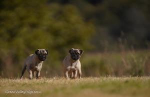 Fawn pugs in field.