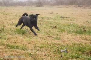 running black pug.