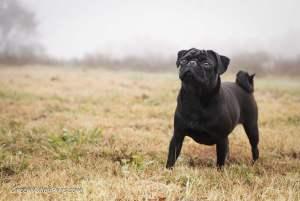 black pug in foggy field